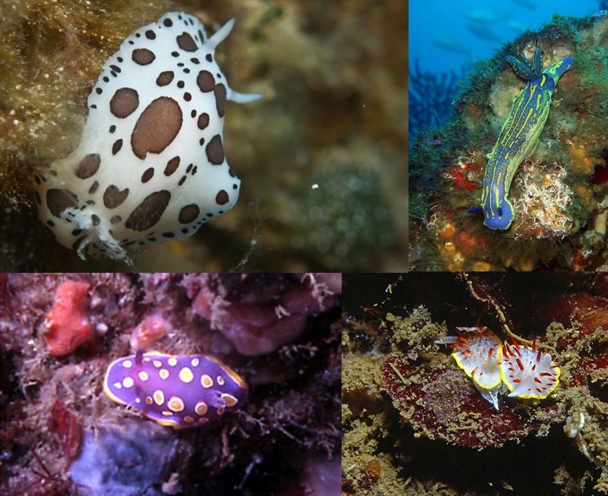 nudibranchi-doridini